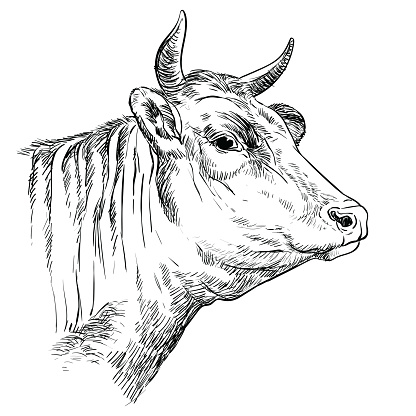 Head of the cow hand drawing illustration