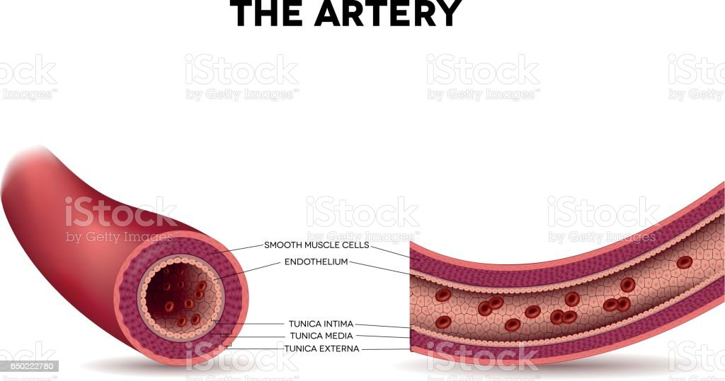 Healthy artery anatomy, artery layers detailed illustration vector art illustration