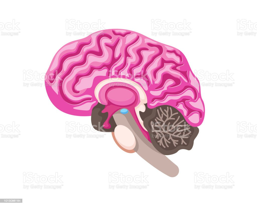 Healthy Brain Anatomy Internal Human Organ Illustration Stock Vector