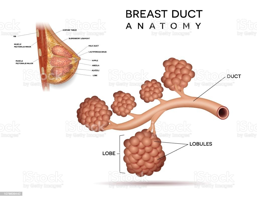 Healthy Breast Duct Detailed Structure Stock Illustration
