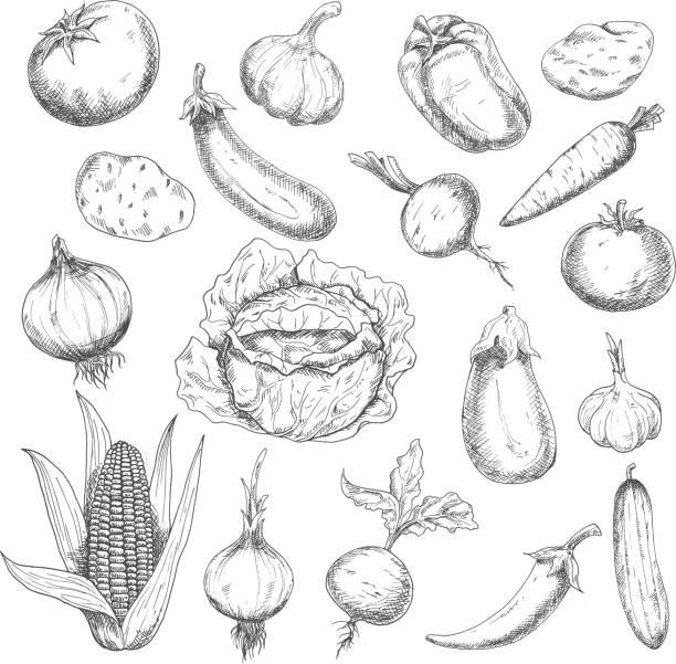 healthy food sketch design with fresh vegetables - root vegetable stock illustrations