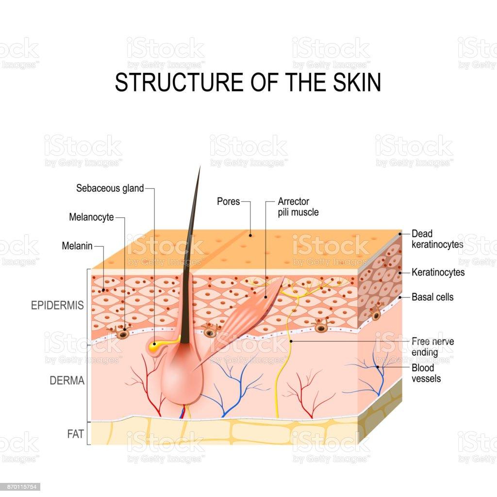 Santé de la peau humaine - Illustration vectorielle