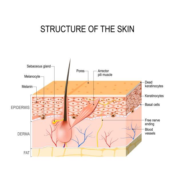 stockillustraties, clipart, cartoons en iconen met gezonde menselijke huid - menselijke huid