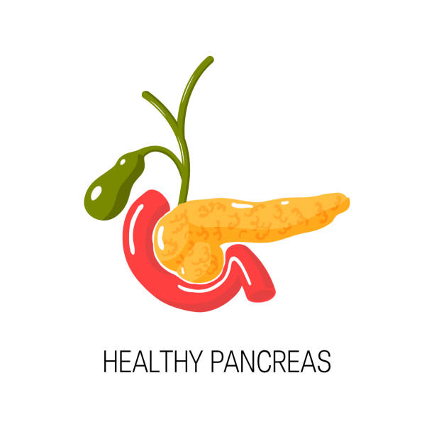 Healthy pancreas concept. Vector illustration Healthy pancreas concept. Medical vector illustration of pancreas, duodenum and arrows symbolizing health bile stock illustrations