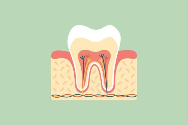 Zahnbein Vektorgrafiken und Illustrationen - iStock