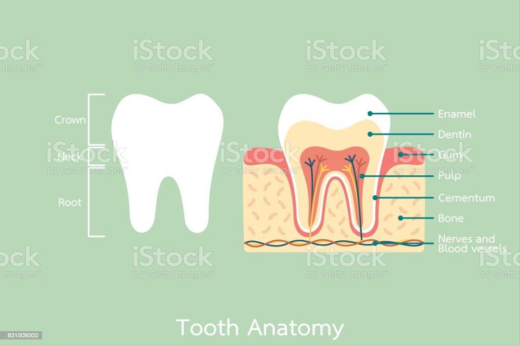 Anatomía Dental Sana Con La Palabra - Arte vectorial de stock y más ...