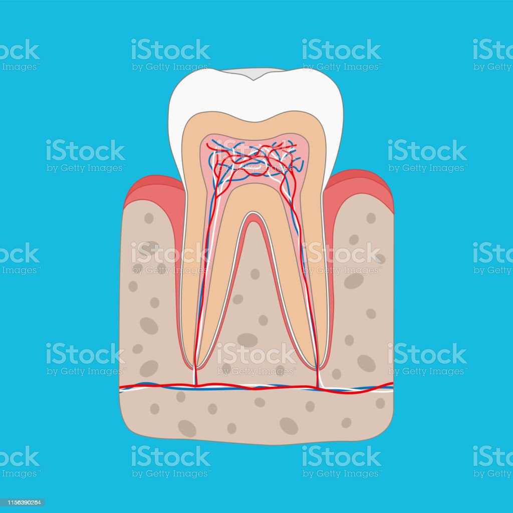 healthy tooth diagram, tooth cross section and anatomy of healthy gum   medical dental poster