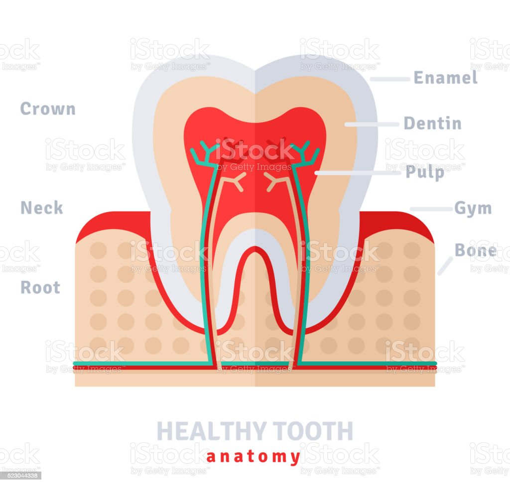 Healthy White Tooth Anatomy Flat Stock Vector Art & More Images of ...