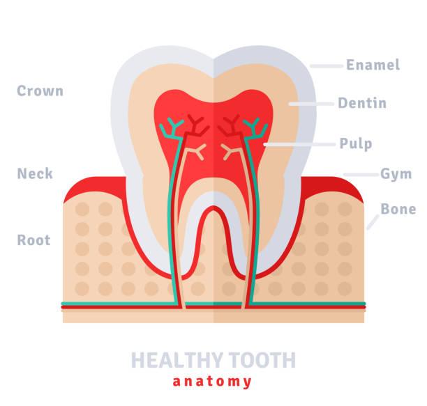 bildbanksillustrationer, clip art samt tecknat material och ikoner med healthy white tooth anatomy flat - emalj