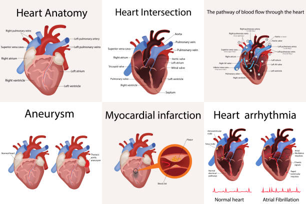 heart anatomy and types of heart disease vector illustration heart anatomy and types of heart disease vector illustration isolated on white human heart stock illustrations