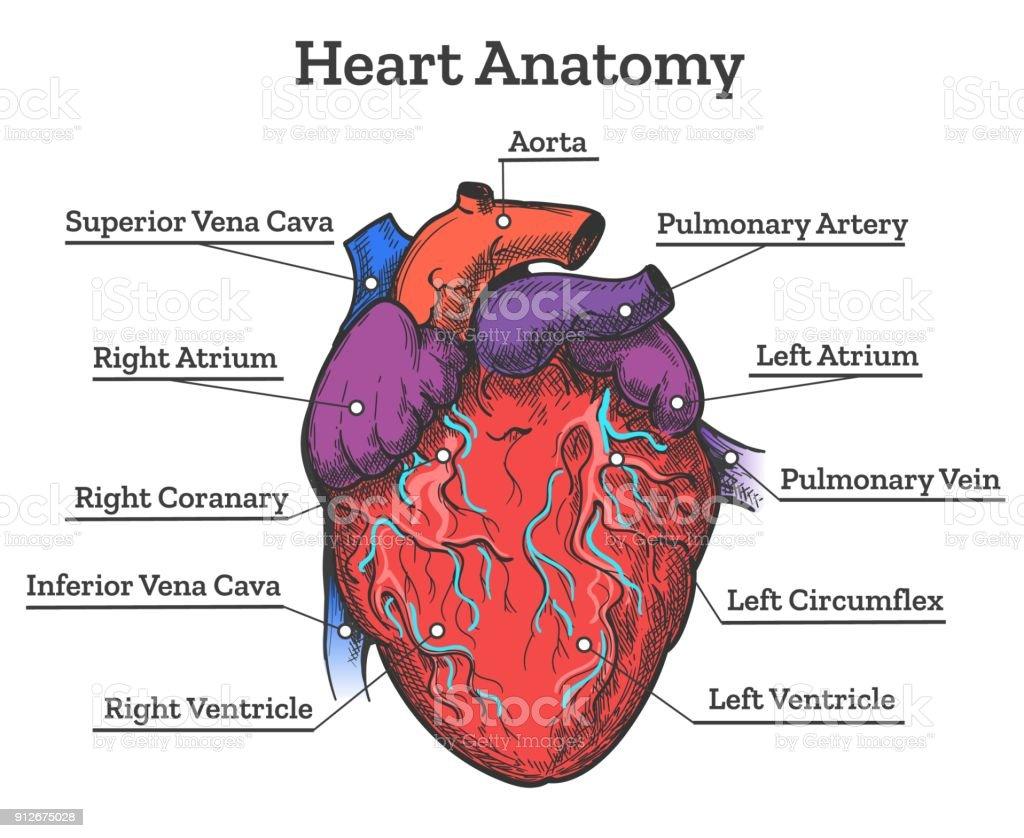 Heart anatomy colored sketch vector art illustration
