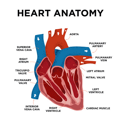 Heart Anatomy diagram. Human Heart Structure. Labelled heart half in doodle style. Part of heart foe education. Hand drew vector illustration