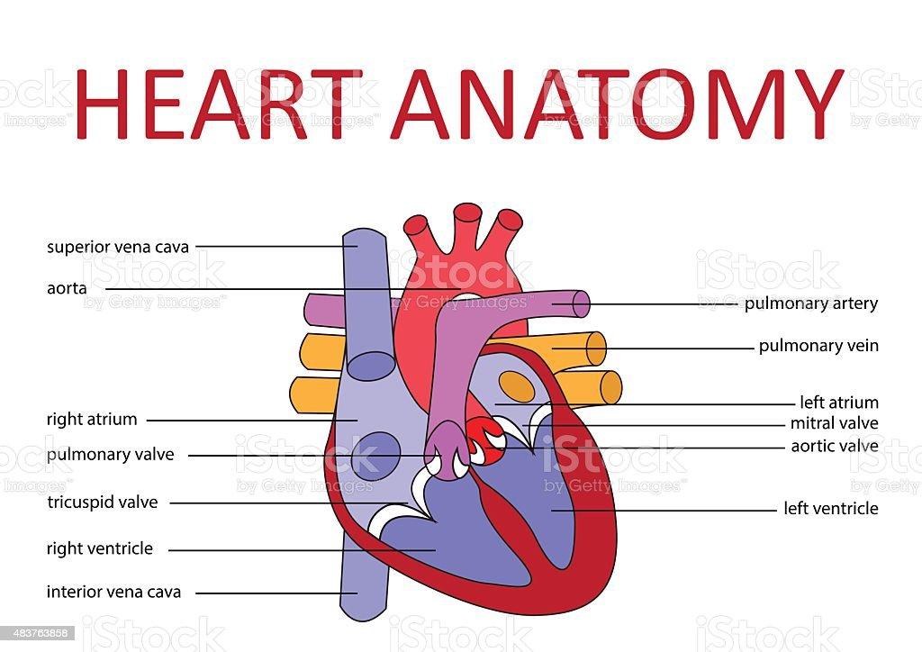 heart anatomy vector art illustration