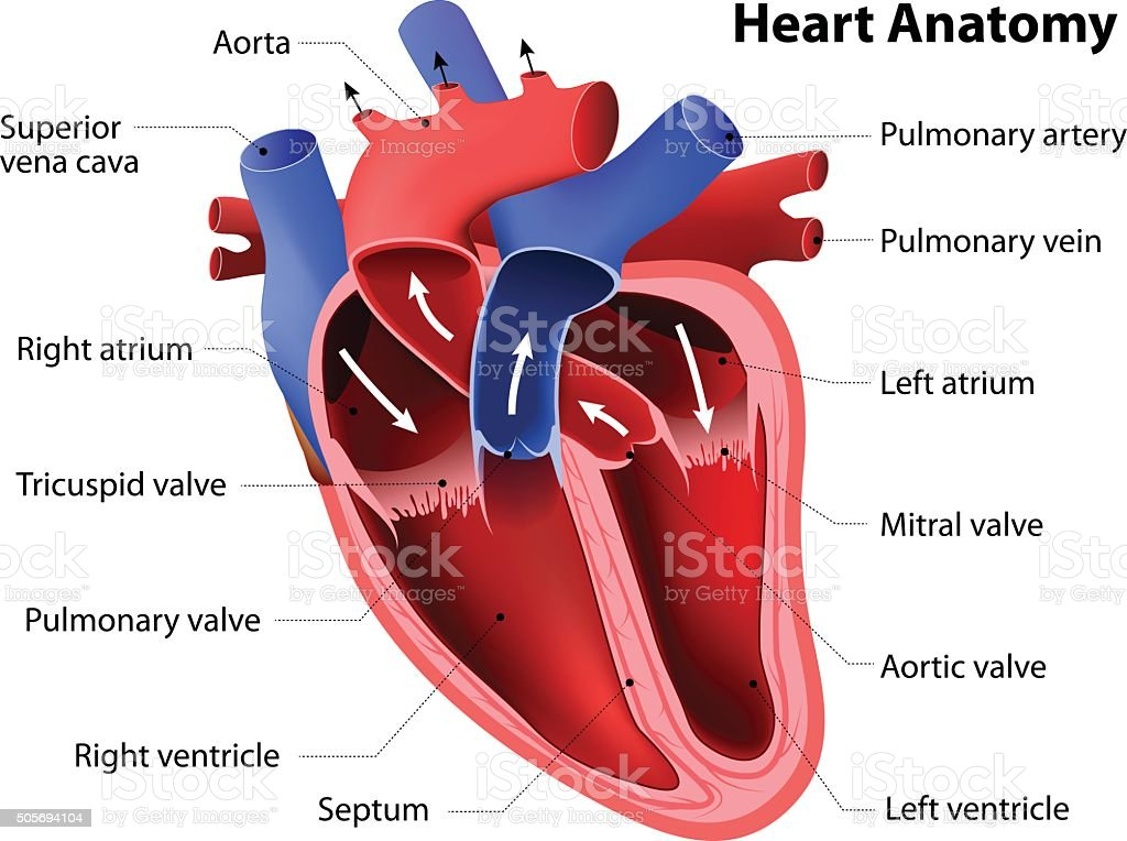Heart Anatomy Stock Vector Art & More Images of Anatomical Valve ...