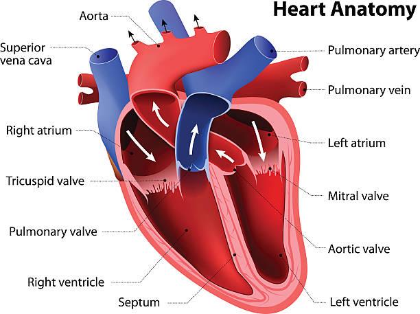 heart anatomy heart anatomy. Part of the human heart human heart stock illustrations