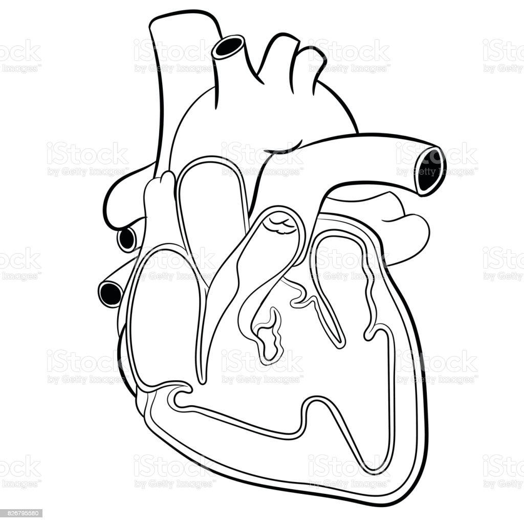 Kalp Anatomisivektor Cizim Stok Vektor Sanati Akciger Nin Daha
