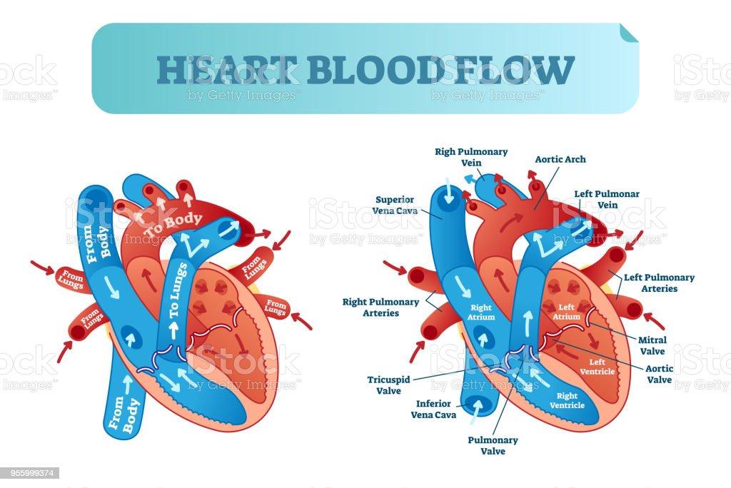 Ilustración de Corazón Sangre Circulación Anatómica Diagrama De ...
