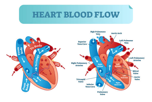 Best Blood Flow Illustrations, Royalty-Free Vector ...