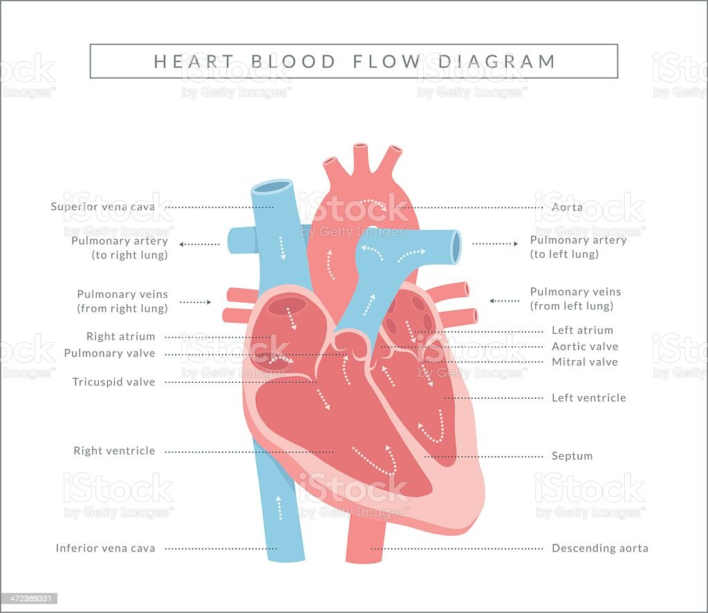 Heart Blood Flow vector art illustration