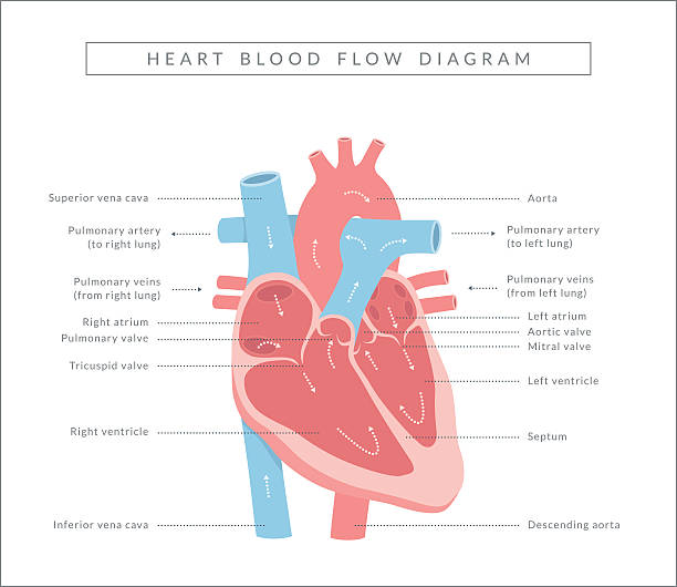 Royalty Free Cardiopulmonary System Clip Art Vector Images