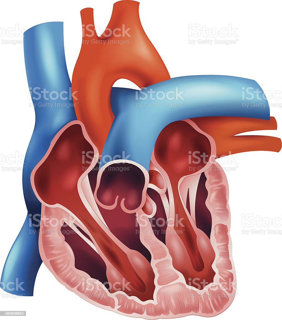 Heart cross-section vector art illustration