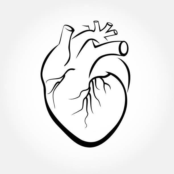 ilustrações de stock, clip art, desenhos animados e ícones de heart drawings vector. - coração humano