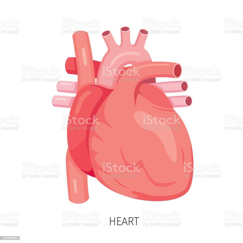 Ilustración de Corazón órgano Interno Humano Diagrama y más banco de ...