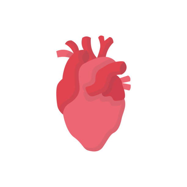 ilustrações de stock, clip art, desenhos animados e ícones de heart human organs medicine flat vector icon - coração humano
