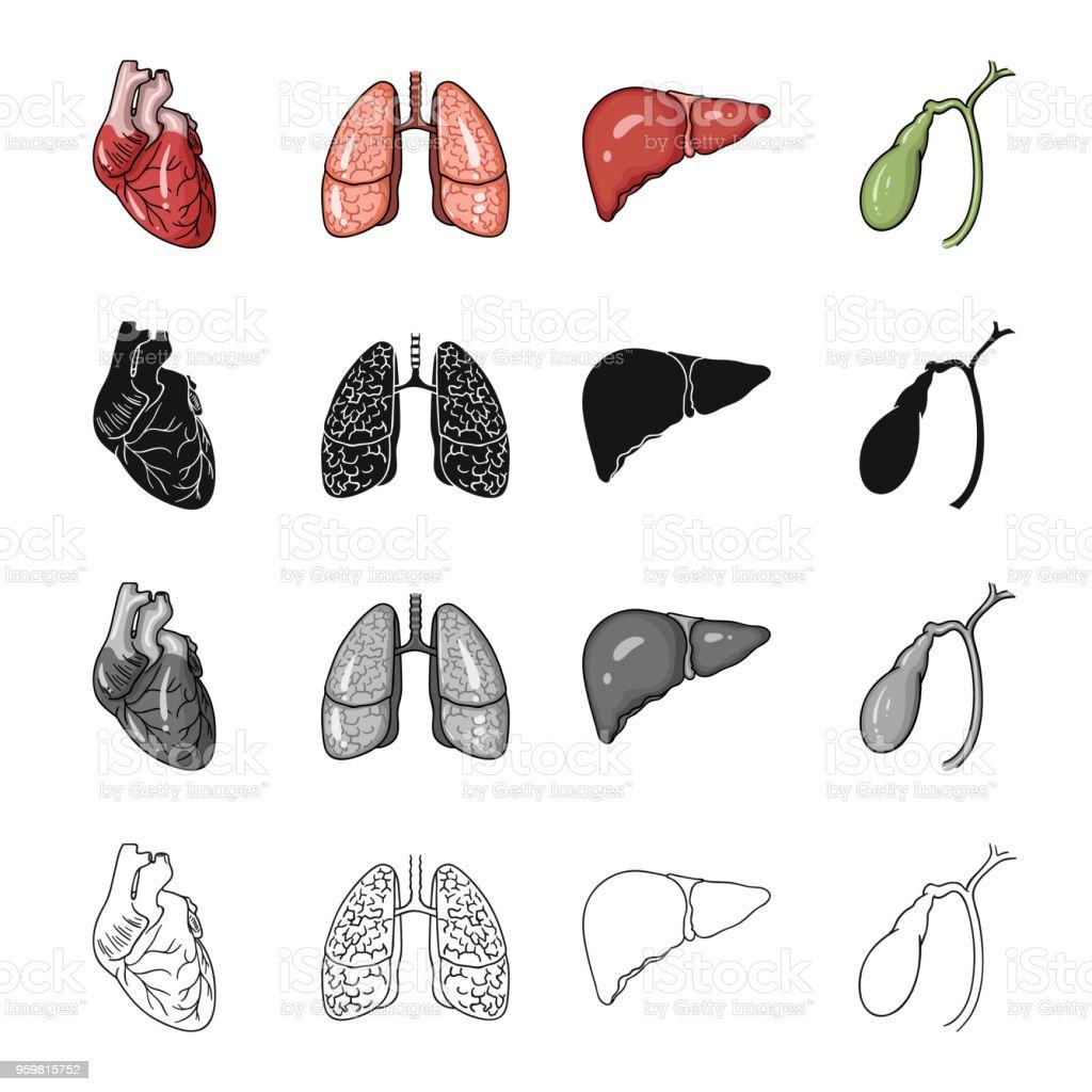 Herz Innerer Organe Lunge Einer Person Leber Gallenblase Menschliche ...
