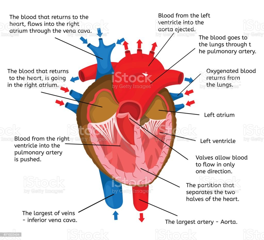 Heart of body in terms of animation structure isolated on a white background Vector Illustration vector art illustration