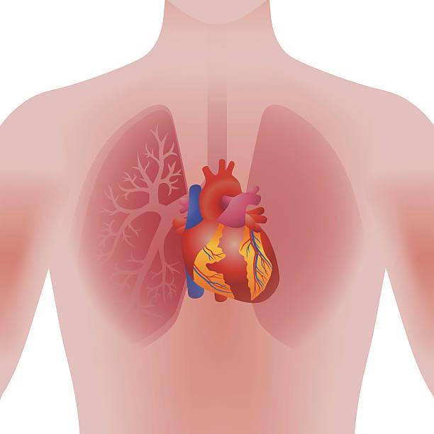 heart of human, vector illustration vector art illustration