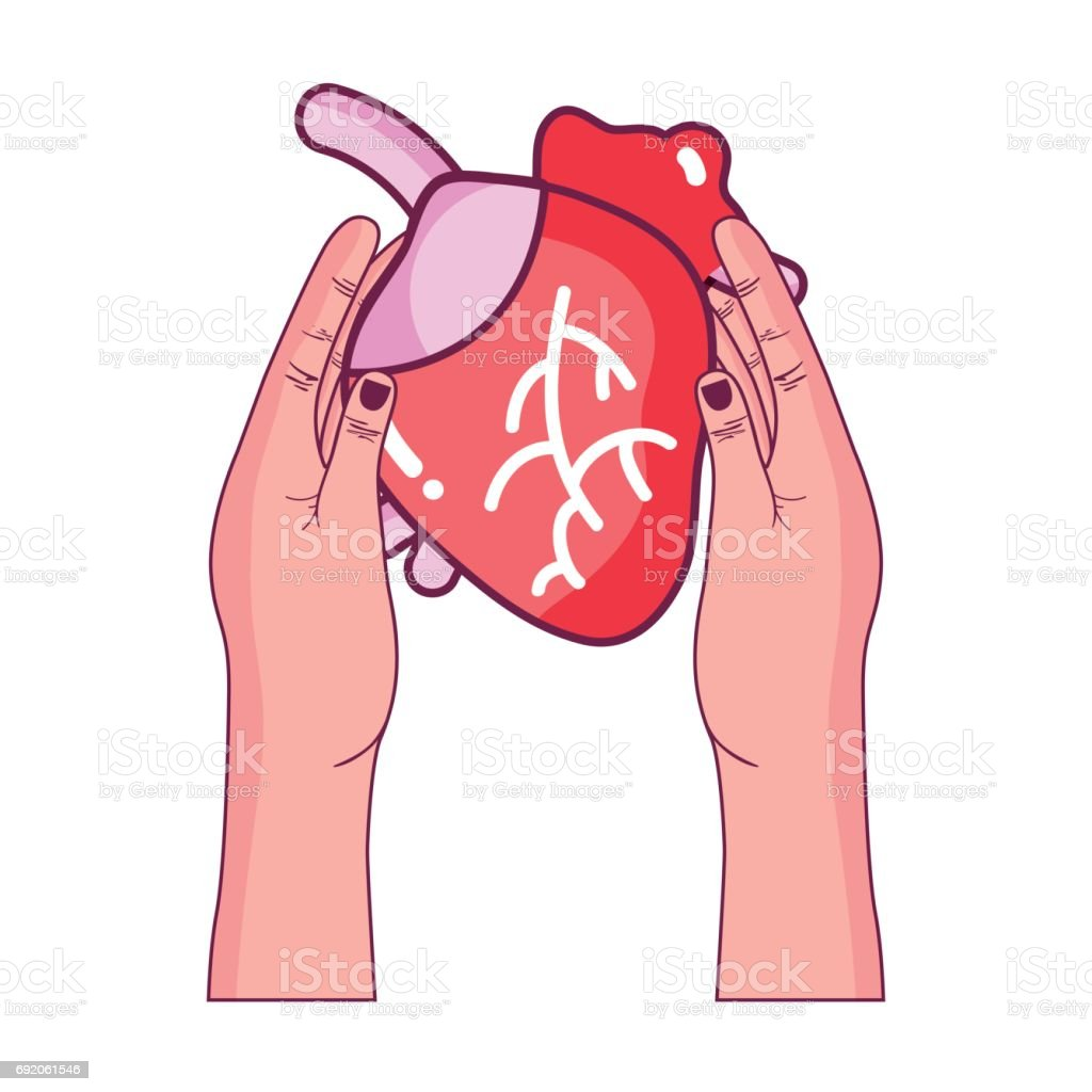 Ilustración de órgano De Corazón A La Circulación De Sangre En Las ...