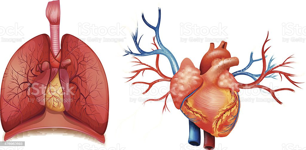 Heart Organ Stock Vector Art & More Images of Anatomical Valve ...