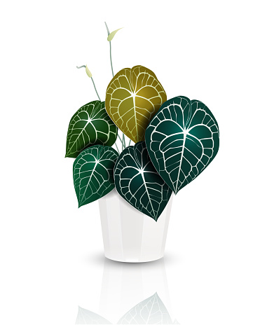 Heart shape leaves, Anthurium houseplant