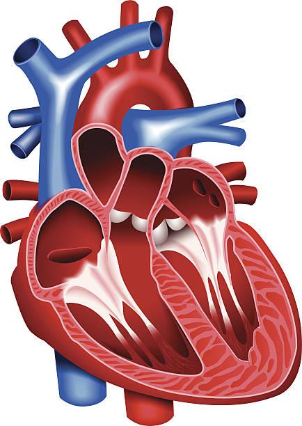 ilustrações de stock, clip art, desenhos animados e ícones de coração - coração humano