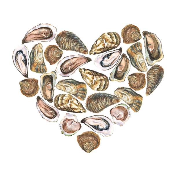 Heart with watercolor oysters on white background vector art illustration