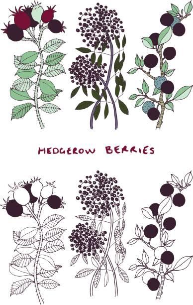 hecke beeren pflanze illustration vektor - holunderstrauch stock-grafiken, -clipart, -cartoons und -symbole