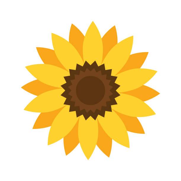 helianthus or sunflower. vector illustration - sunflower stock illustrations