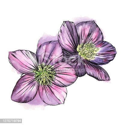istock Hellebore Flowers Watercolor and Ink Drawing. Vector EPS10 Illustration 1270719794