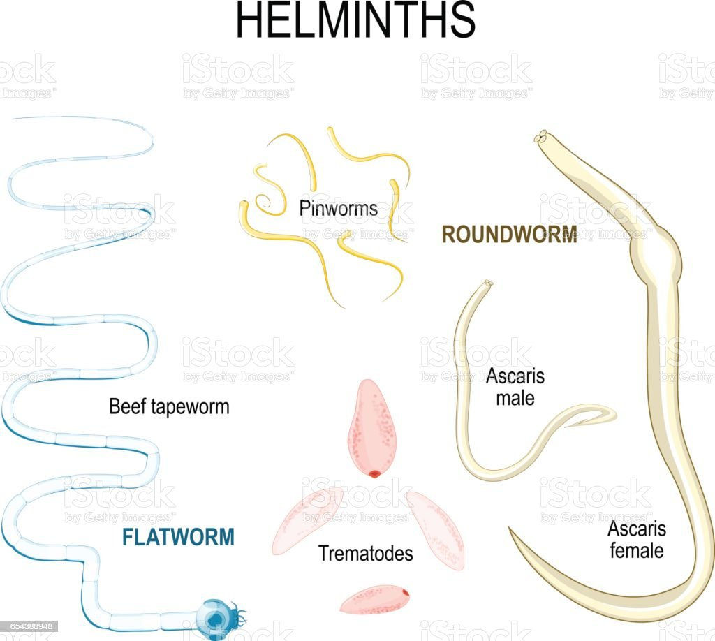 helminths types of human parasites stock vector art amp more