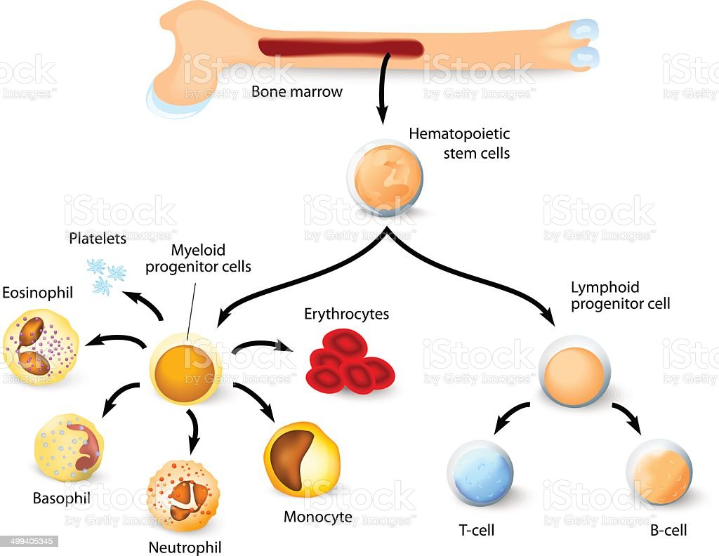 Hematopoietic stem cell vector art illustration