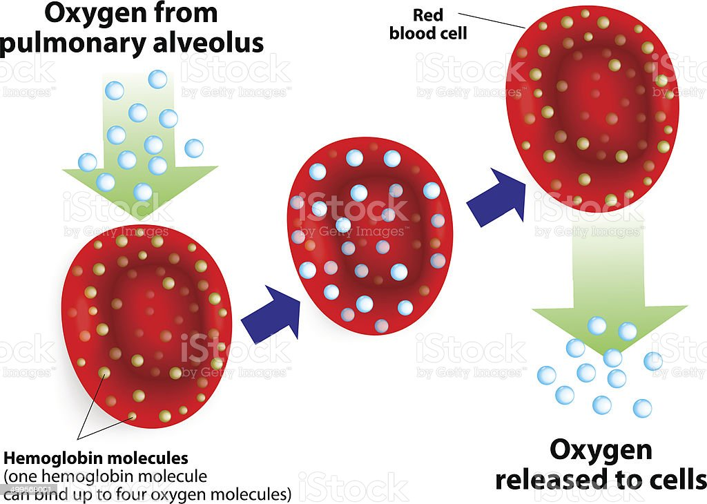 royalty free hemoglobin clip art vector images illustrations istock White Blood Cell Labeled vector diagram vector art illustration