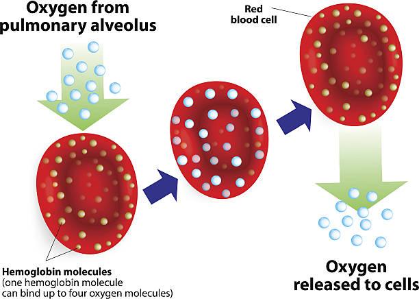 Hemoglobin and respiratory. Vector diagram Hemoglobin molecules. One hemoglobin molecule can bind up to four oxygen molecules. hemoglobin stock illustrations