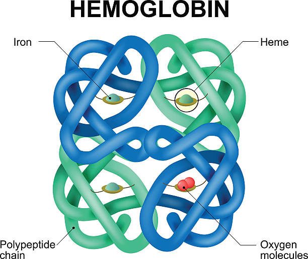 hemoglobin molecule Structure of human hemoglobin molecule. Vector diagram. Hemoglobin is the substance in red blood cells that carries oxygen. red blood cell stock illustrations