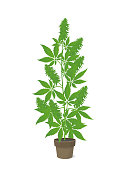 Hemp potted plant. Marijuana or cannabis indica green tree. Isolated vector illustration on white background. Weed Growing in a pot at home. Medical cannabis.
