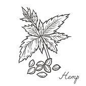 Hemp seed plant, leaf, branch. Hand drawn engraved vector sketch etch illustration. Superfood Nutrition, detox, care, vitamin ingredient. Hemp Black on white background