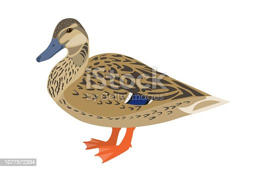 Vector illustration of female mallard duck
