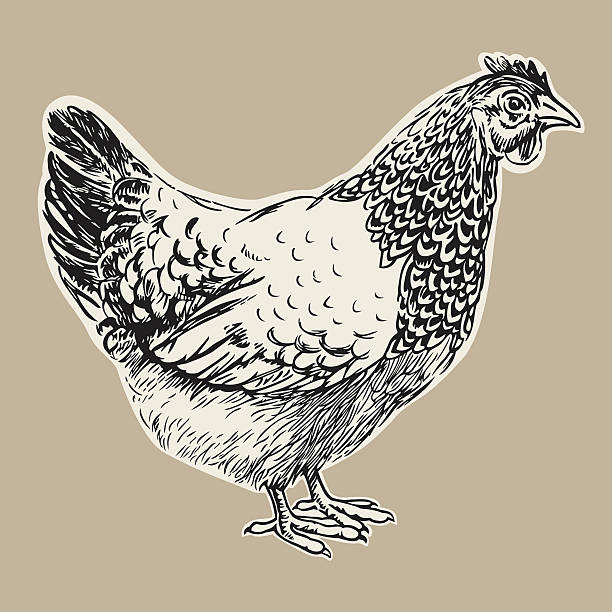 hen Hand drawn illustration of a nice hen as a vector rendering. hen stock illustrations