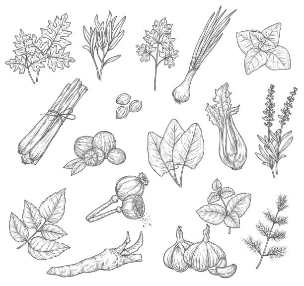 Herb, spice and seasoning sketches Herb and spice sketches, seasoning and condiments. Mint, rosemary and parsley leaves, garlic dill and cardamom, lavender and basil, onion, celery and nutmeg, sorrel, lemongrass and horseradish dill stock illustrations