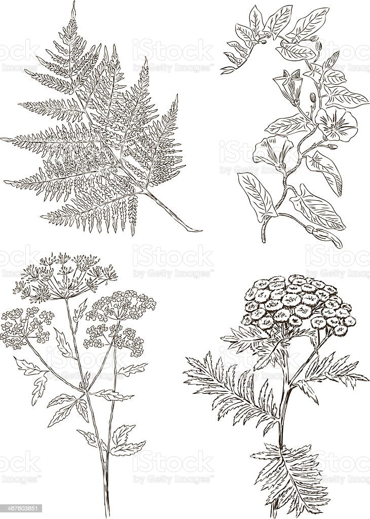 herbaceous plants royalty-free herbaceous plants stock vector art & more images of botany